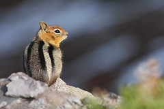 Mr. Chip (4Durt) Tags: craterlake spermophilussaturatus curttoumanian cascadegoldenmantlegroundsquirrel