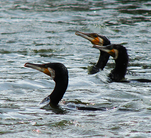 Greater cormorants