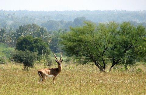 blackbuck amidst the acacia mydenahalli 091107