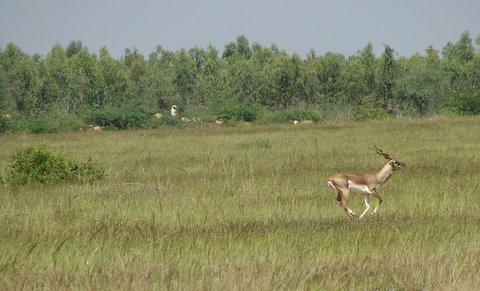 fleeing blackbuck pic by Anush Shetty 091107 mydenahalli