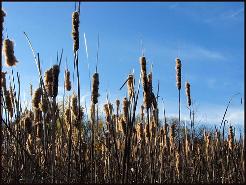 puffy cattails