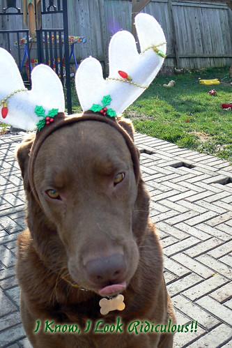 chocolate labrador - christmas