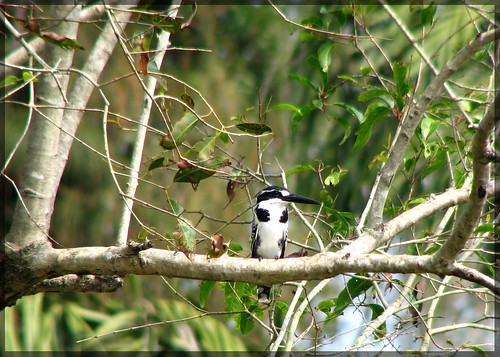 R-Pied Kingfisher