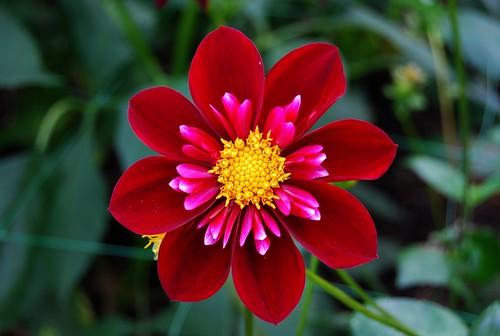 Thumb Gran foto de una Dalia, la flor nacional de México