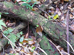 Fallen tree (phempsall) Tags: sea rainforest australia boardwalk acres portmacquarie seaacres