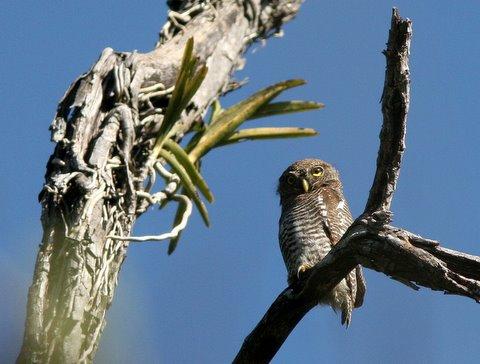 jungle owlet 2412