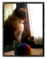 Missy con pelota (aunqtunolosepas) Tags: door light pet cats pets sun cute luz sol window animal animals cat ball ventana puerta feline waiting bea adorable fluffy sunny gatos cutie gato missy wait gata felinos felino felines animales lovely cuteness gatitos siames esperando mascota mascotas gatita pelota siamesa esperar soleado fetchtheball aunqtunolosepas