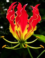 Gloriosa superba (Nelson~Blue) Tags: gloriosa gloriosasuperba superba flamelily