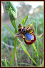 Ophrys Speculum ( Annieta ) Tags: blue espaa flower color colour nature fleur canon ilovenature spain blauw natuur powershot g2 fiori pow orchidee wildflower 2008 colori soe breathtaking spanien allrightsreserved spanje pictureperfect bloem ilovephotography februari excellence fevrier kleur costablanca powershotg2 wildorchid naturesfinest canonpowershotg2 blueribbonwinner top20flowers lamata lamarina splendiferous annieta theworldthroughmyeyes thebiggestgroup kakadoo shieldofexcellence superbmasterpiece 16februari ophrysspeculum theboldflower excellenceinflora macroaward naturewatcher 1on1flowersphotooftheweek excellentsflowers excellentsflora venusspiegel ophrysspeculumlinkvarspeculum 1on1flowersphotooftheweekfebruary2008 auniverseofflowers dontusethisphotowithoutpermission usingthisphotowithoutpermissionisillegal