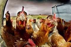 more chickens (Dan65) Tags: bird chicken pen farm fisheye poultry coop hen flickrsbest