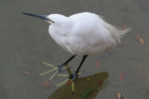 little egret with feet in water lalbagh 010308