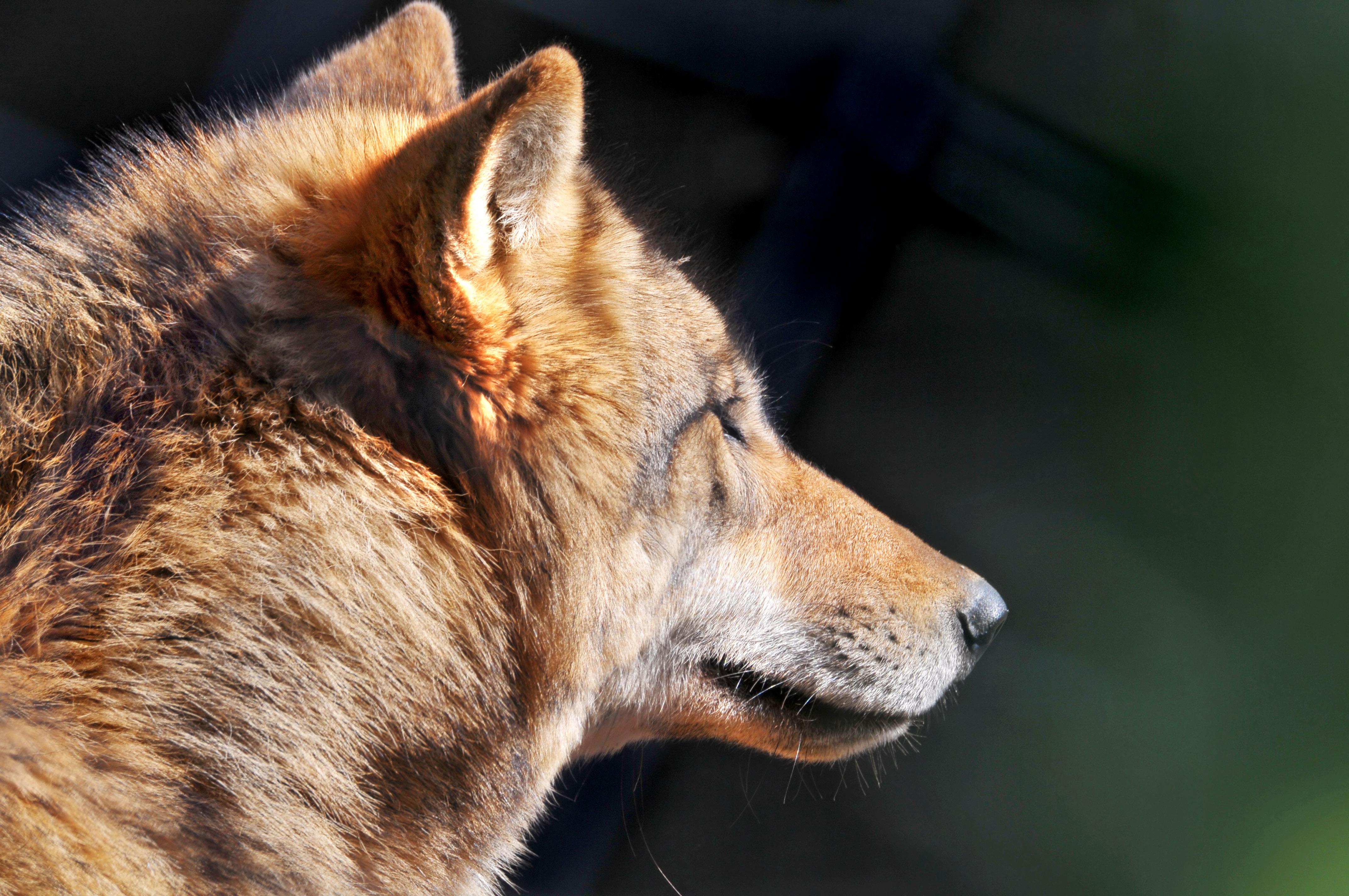 横顔がかっこいい狼の画像