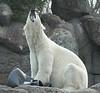 Conqueror of the can (Steven Fought Photography aka: FŏtFōtō) Tags: bear wildlife polarbear willy