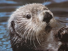 So furry. (bfurlong) Tags: sea march otter bryce xander seaworld seaotter randix