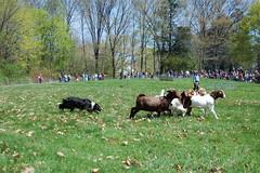 Doggy goat herding
