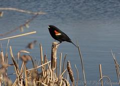 IMG_3813 (leftboot13) Tags: water birds canon edmonton birdwatcher dailychallenge agelaiusphoeniceus 40d redwingedblackbirdm