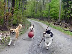 Los tres amigos (LisaNH) Tags: shepherd sheepdog german icelandic bjarki2bd