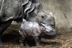 Rhino with calf (K.Verhulst) Tags: indianrhino rhino neushoorn indischeneushoorn blijdorp blijdorpzoo diergaardeblijdorp rotterdam