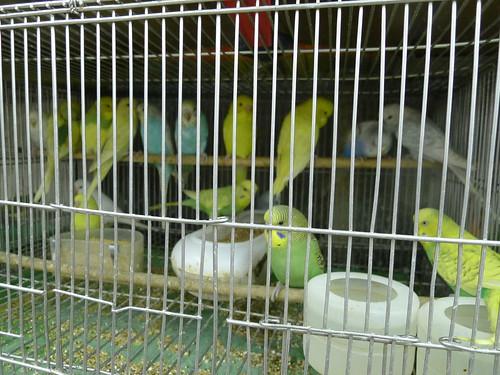 萬華鳥街-虎皮鸚鵡