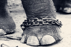 CHAINED!!! (VinothChandar) Tags: wild india elephant love nature animal animals zoo humanity cage chain tamilnadu captivity cruelty chained welfare cruel tanjore