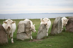 Sometimes even the best tourist attractions just need to be used (dukematthew2000) Tags: blue sky white green four skåne ruins rocks cattle cows sweden historic geometrical calf viking alesstenar astronomical mythological geographical passionphotography aplusphoto diamondclassphotographer flickrdiamond platinumheartaward