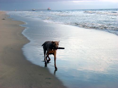java-dog-beach-stick