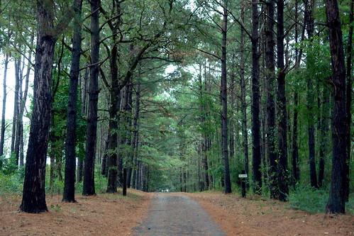 A Pine Line