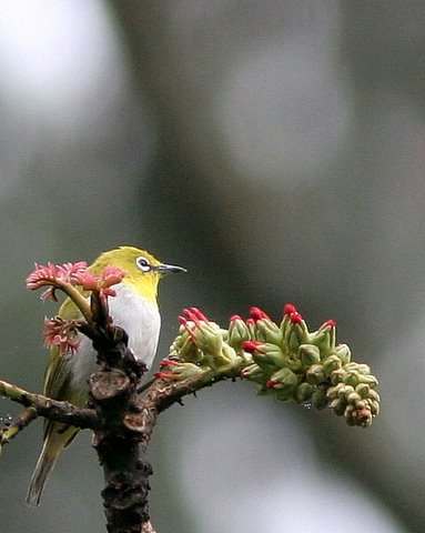 Oriental White-Eye,Nandi Hills Oct07