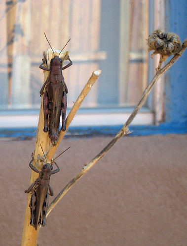 these grasshoppers freaked me out