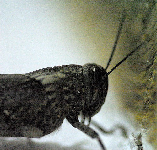 Grasshopper, Megísti Lávra 2007