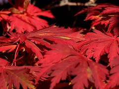 """""""Roter Oktober 2007"""" (mc_the_snapshot) Tags: autumn red rot fall hamburg herbst extrem ahorn"""