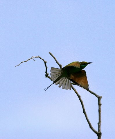 """bee-eater """"fantail"""""""