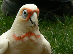 A Very Friendly Long-Billed Corella! (ianmichaelthomas) Tags: friends birds healesvillesanctuary parrots smorgasbord corella longbilledcorella animaladdiction australiannativebirds wildlifeofaustralia animalcraze platinumphoto worldofanimals auselite naturewatcher healesvillevictoriaaustralia flickrlovers vosplusbellesphotos