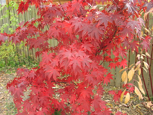 japanese maple bloodgood. red japanese maple bloodgood.