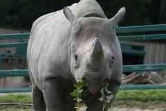 Black Rhino (Mark_1976) Tags: rhino blackrhino portlympne portlympnewildanimalpark