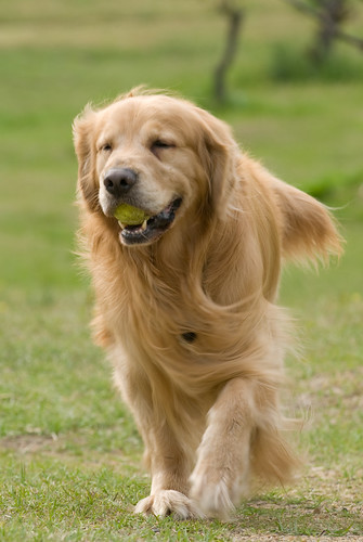 Really golden golden and his ball