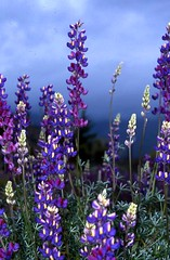 Lupine Heaven (moonjazz) Tags: life blue summer sky plant flower nature beauty wonder spring purple natural best growth fields growing blooms wilderness lovely lupine finest masterpiece fertile amazingtalent colorphotoaward aplusphoto frhwofavs colourartaward supreb