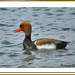 xibec mascle - pato colorado macho - red-crested pochard - netta rufina
