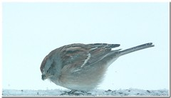 ~Brrrrrrr, it's cold today! (~Sage~) Tags: winter cold cute bird aves friday blizzard americantreesparrow spizellaarborea featheryfriday ar1 ~sage~