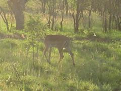IMG_0266 (michaeldgbailey) Tags: southafrica safari krugernationalpark bigfive