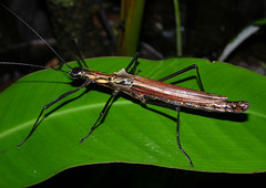 False-eyed flying stick (Pseudophasma sp), Madre de Dios, Peru (Arthur Anker) Tags: peru insect rainforest insects stick stickinsect phasmatodea