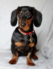 Puppy Valentine (geckoam) Tags: dog pet puppy hotdog sausage valentine dachshund blackdog wiener mocha onwhite wienerdog dackel teckel doxie abigfave heartlocket goldlocket puppyvalentine