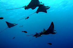 School of Spotted Eagle Ray, Saipan (_takau99) Tags: ocean trip travel november blue school sea vacation holiday fish uw nature water animal topv111 topv2222 island lumix islands topv555 topv333 ray underwater action stingray topv1111 north topv999 topv444 scuba diving topv222 panasonic pacificocean tropical scubadiving topv777 spotted common topv666 topf10 mariana tropicalfish wealth 2007 saipan eagleray deepblue topv888 topf5 cnmi spottedeagleray takau99 myliobatidae dmcfx30 wondersea