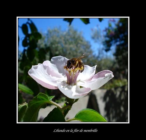 Libando en la flor de membrillo