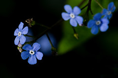 Forget-Me-Still-Not (Philipp Klinger Photography) Tags: blue flower green nature field germany deutschland leaf spring flora dof hessen bokeh frankfurt forgetmenot philipp depth hesse klinger of dcdead