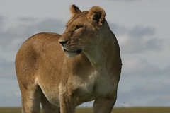 lioness (rcsjackson) Tags: wildlife lion lioness wcw masaimara wildanimals potofgold pantheraleo specanimal flickrbigcats wildcatworld
