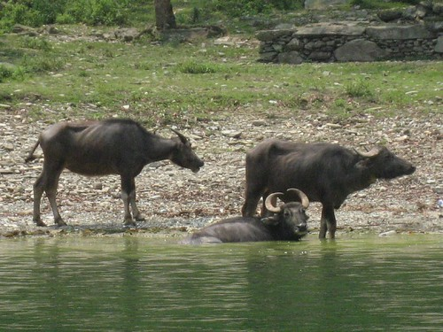 Sneaking up on the bathing water buffalo