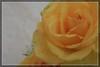 Rosa.. !! Giallo..!? (Ziobudu) Tags: life rosa giallo fiore rugiada gocce rosagialla canon40d goldstaraward ziobudu artedellafoto
