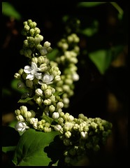 Home again (Kirsten M Lentoft) Tags: shadow sunlight white spring lilac mywinners momse2600 goldstaraward flowersmacroworld kirstenmlentoft