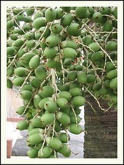 Unripened fruits of Adonidia merrillii (Manila/Christmas Palm)